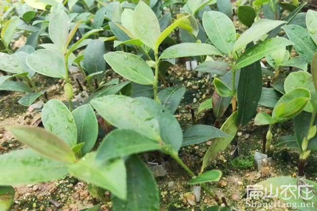 株洲茶树苗
