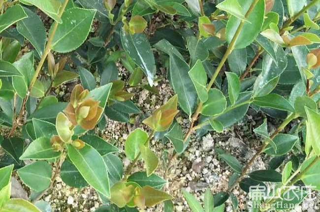 南平高产油茶林苗