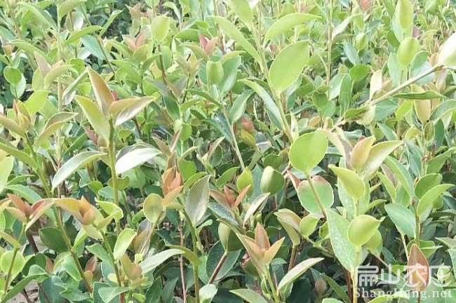 江西茶籽树苗