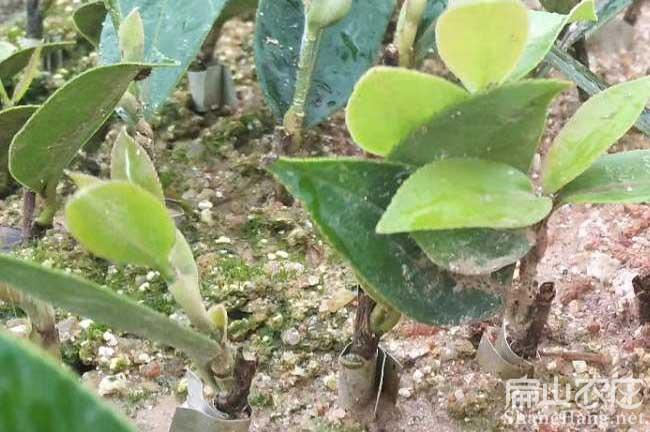 抚州油茶种苗