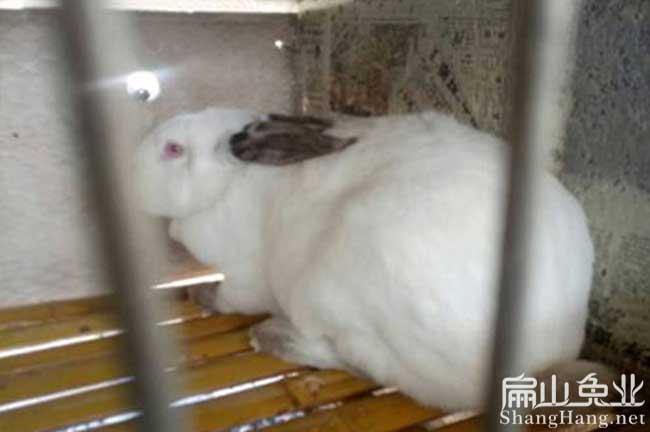 福建八点黑种兔