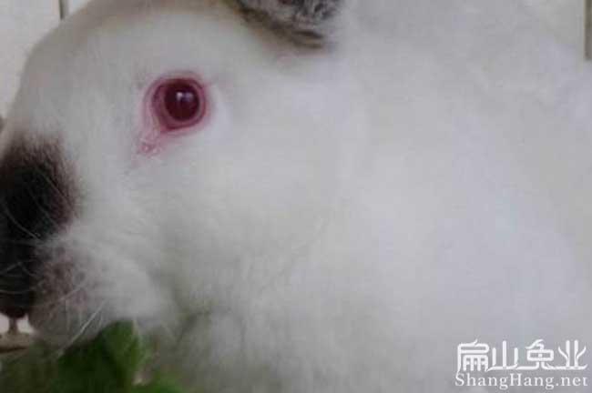 福建红眼睛种兔子