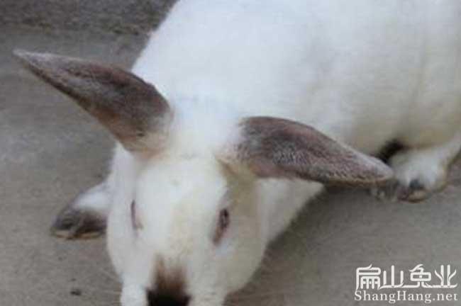 江西种兔养殖