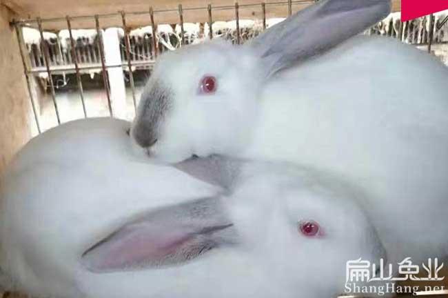 福州八点黑种兔