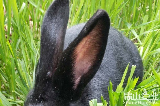 梅县黑兔养殖