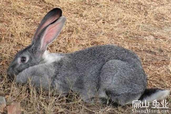 浙江比利时种兔