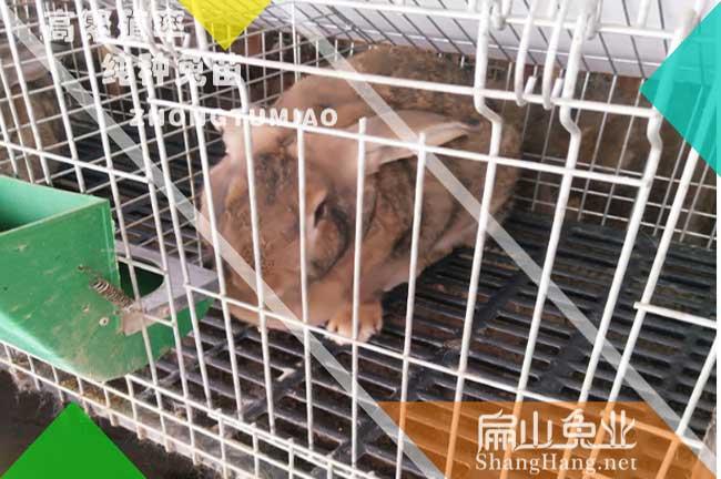 广东黄毛兔养殖基地