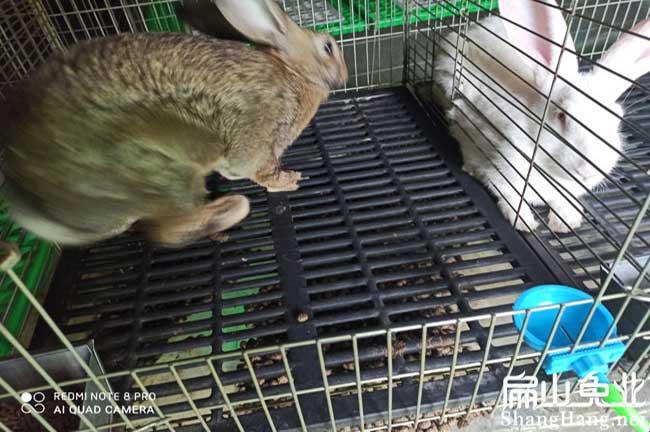 龙岩伊拉兔批发