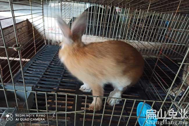 龙岩黄毛兔养殖