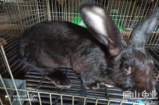 福建乌兔养殖