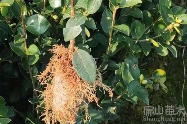 四川油茶种植