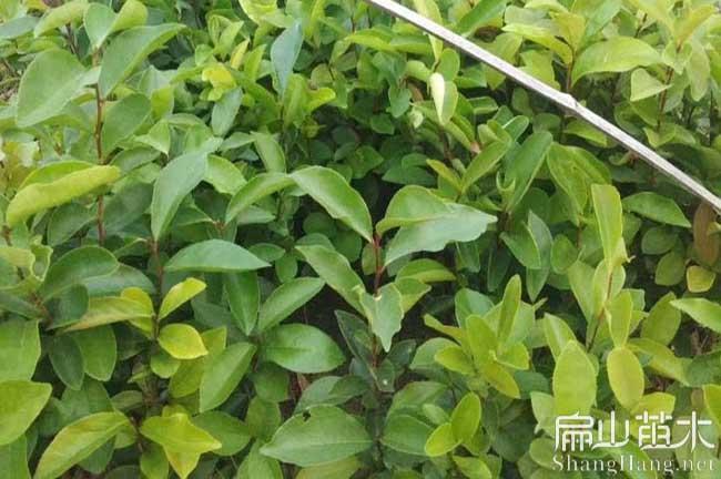 绵阳湘林210油茶苗