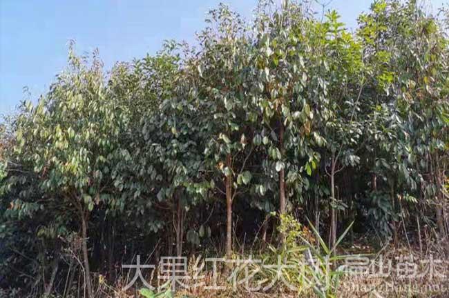 老茶籽树批发