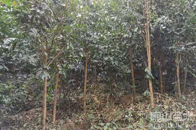 老大果红花油茶树