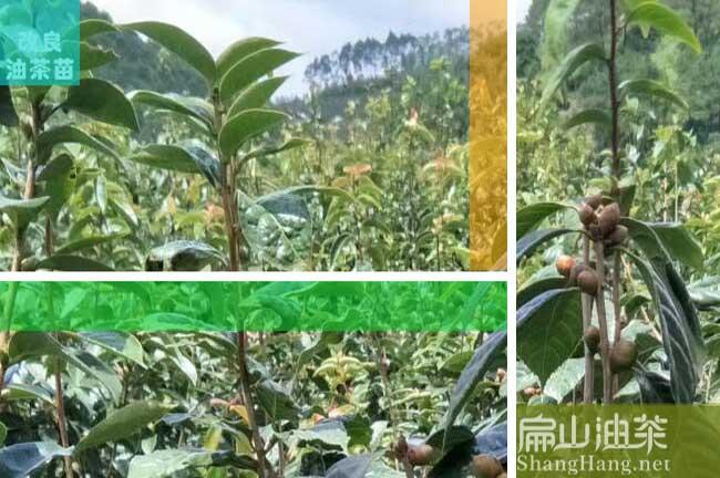 玉溪大果油茶苗