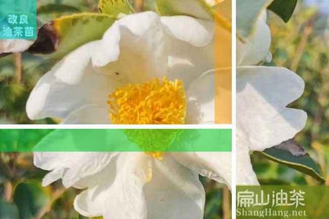 普洱白花茶树苗