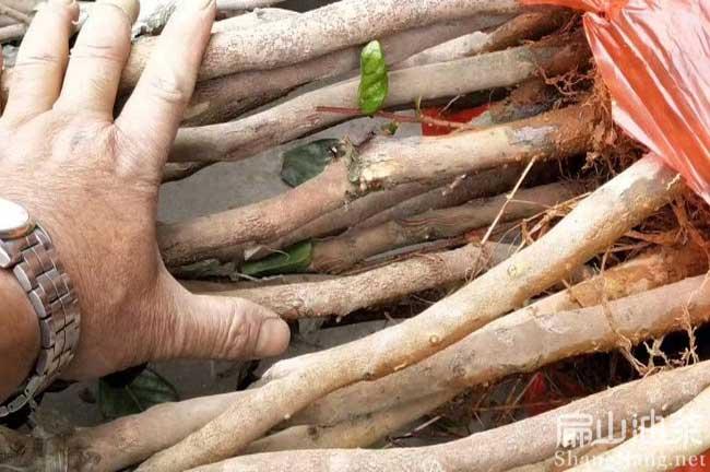桂林红花大果油茶苗