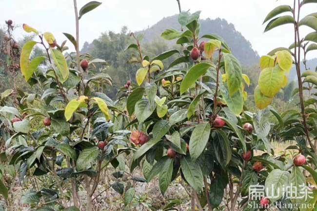 广东万亩大果油茶树苗