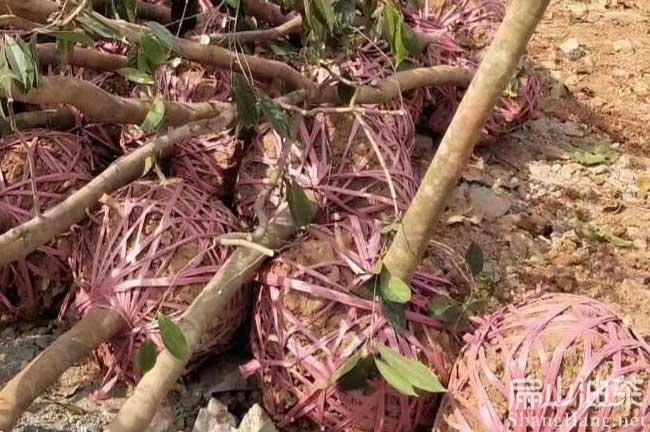 全州红花茶树苗