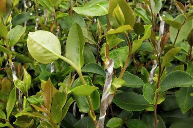 福建茶油苗
