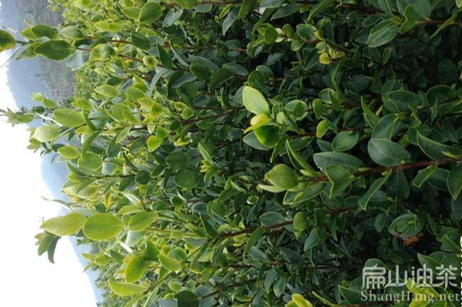 广东蟠龙油茶苗