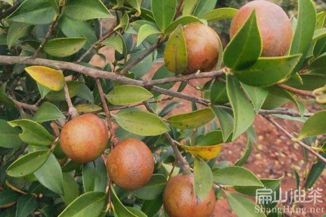 平坝大果油茶苗种植