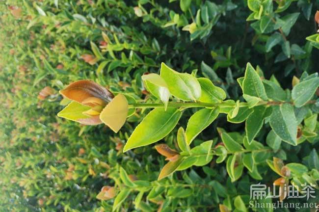湖南油茶种植前景