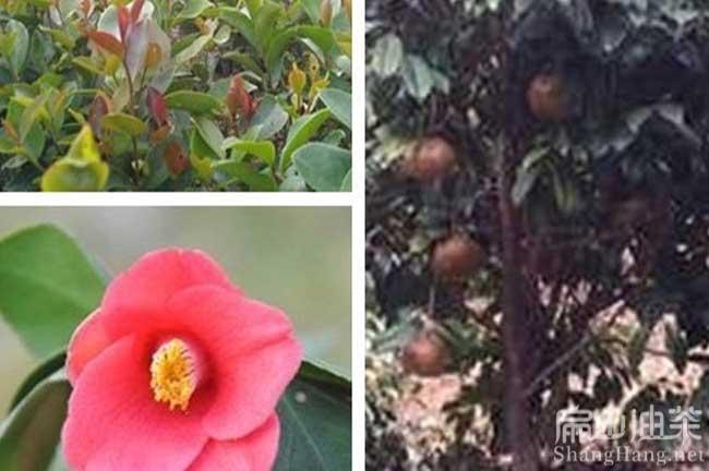 温州红花油茶苗