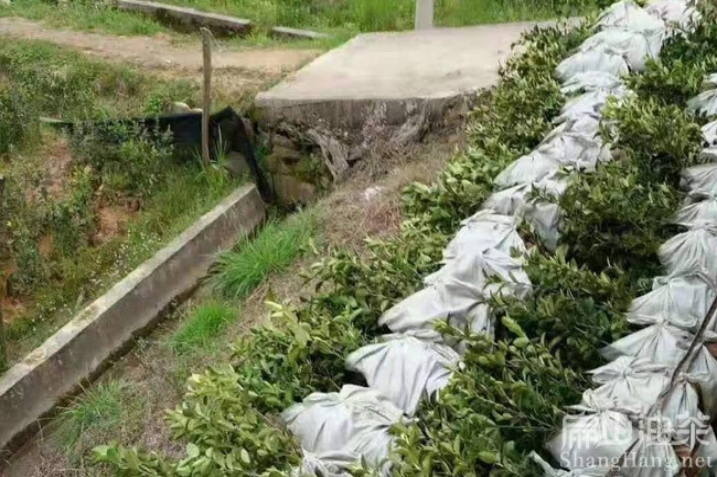 广西茶籽收购