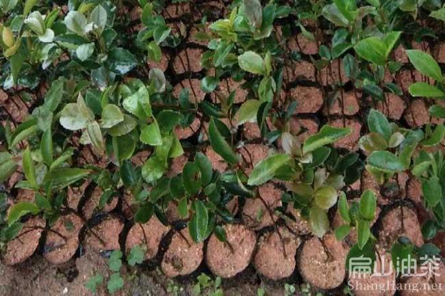 广西大果油茶树基地