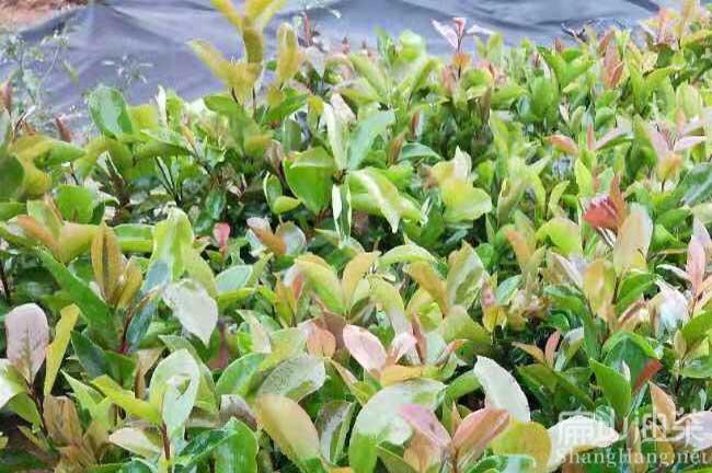 玉林软枝油茶基地