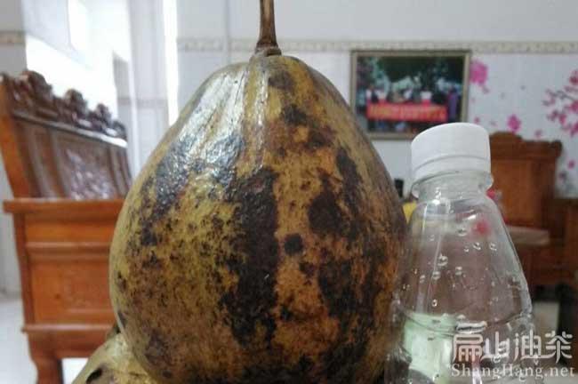 桂林大果油茶基地