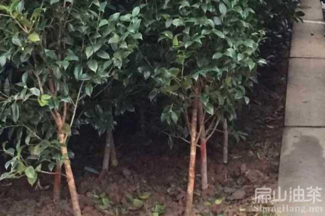 钟山大果油茶种植