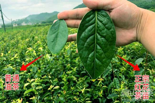 中国大果油茶苗