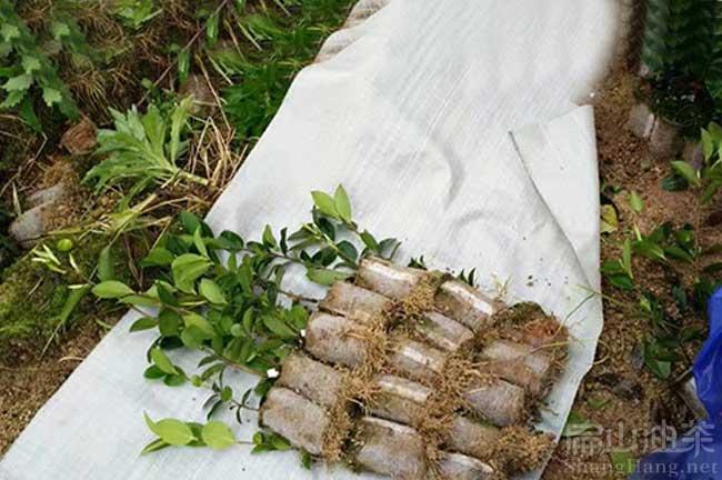 广东油茶苗品种