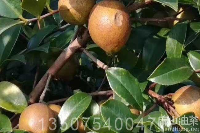广西大果油茶苗