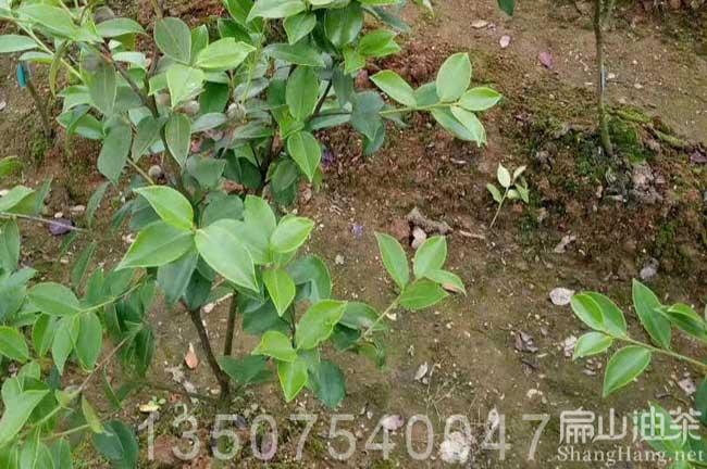 广西高产油茶树