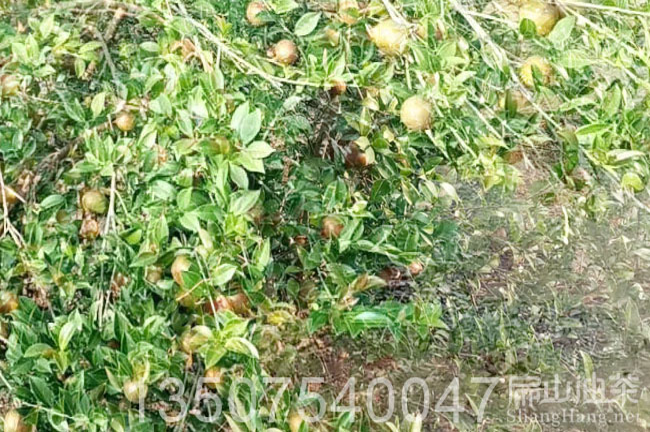 桂林油茶树批发