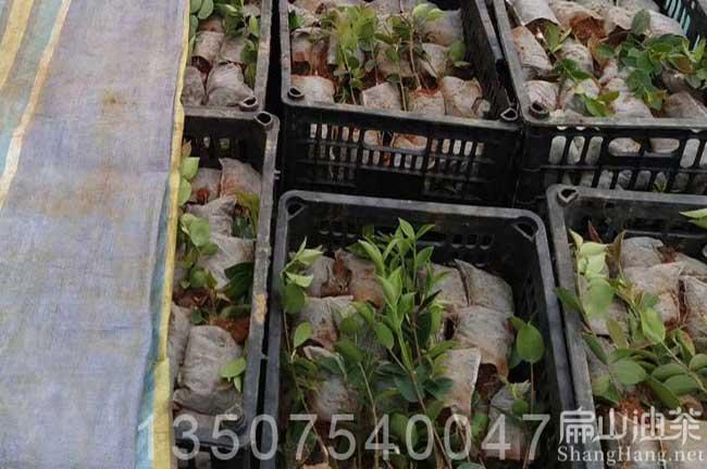 三亚油茶基地