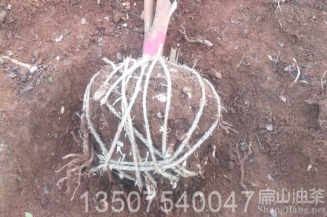 广西带土球油茶树