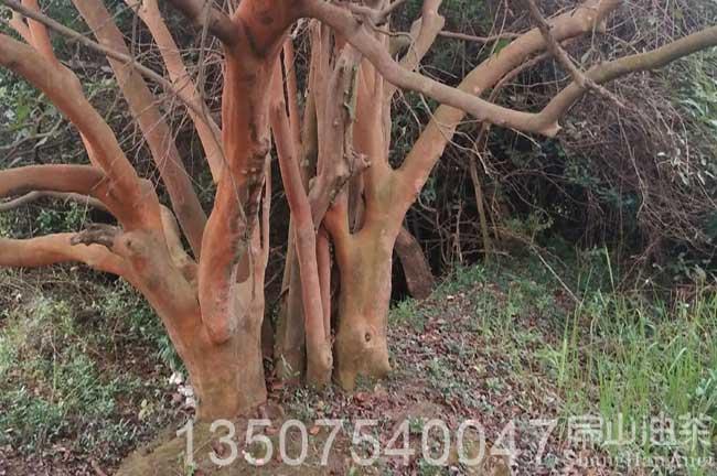 15年大果红花油茶树
