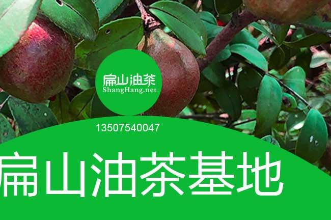四川油茶基地