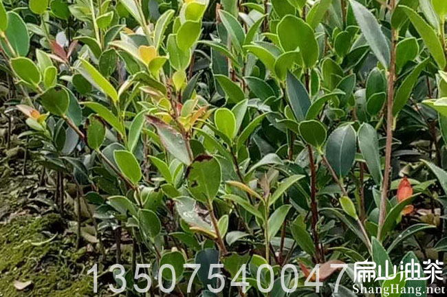 梧州茶树批发