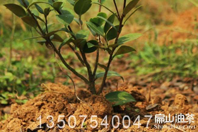 油茶树管理