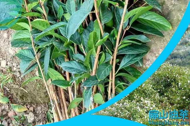 四川红花油茶种植
