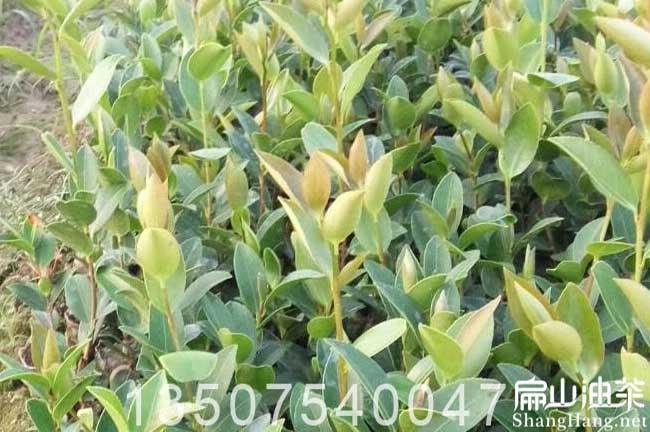 南宁软枝油茶苗