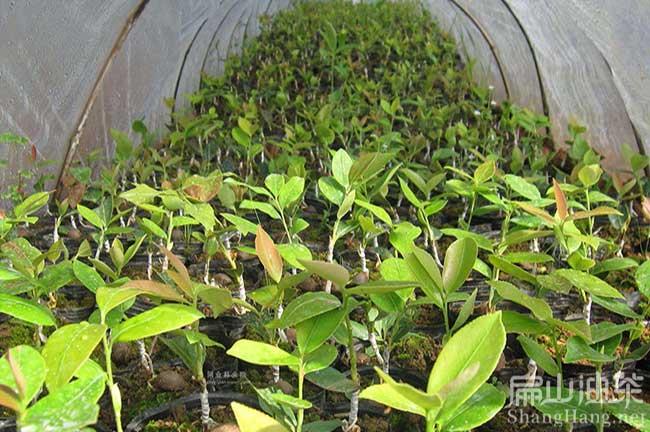 中国油茶苗基地