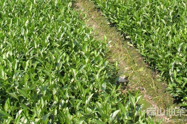 西秀大果苗种植