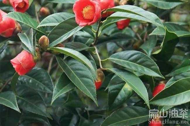 广西红花油茶苗