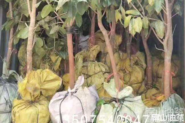 11年大果红花油茶树